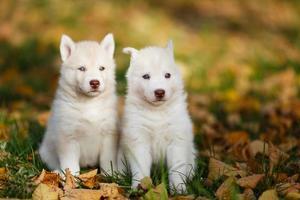 zwei Husky Welpen