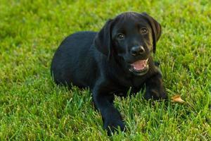 schwarzer Labrador Retriever Welpe foto