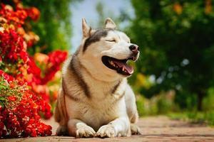 Porträt eines Siberian Husky.