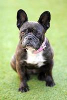 Französische Bulldogge foto