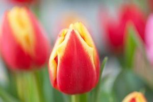 Tulpenblumenbeet