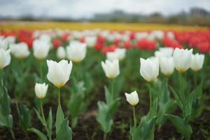 Flussbett Tulpe