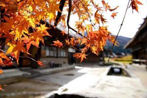 japanischer roter Ahornbaum