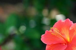 Nahaufnahme des rosa und gelben Hibiskus