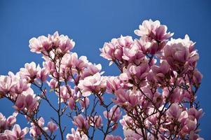 Magnolienbaum foto