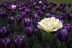einsame weiße Tulpe unter lila Tulpen foto