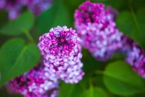 Blüten von Flieder foto