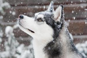 Siberian Husky Welpe im Schnee
