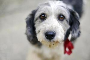 traurige Augen eines niedlichen adoptierten streunenden Hundes