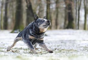junger schöner australischer Viehhundewelpe verschneite Landschaftshundetrick foto