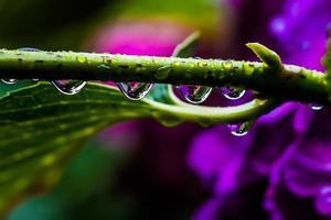 Hortensie nass vom Regen foto
