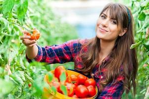 junge Frau in einem Gewächshaus mit Tomaten, Ernte.