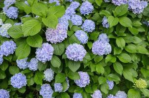 Bigleaf Hortensie (Hortensie Macrophylla)