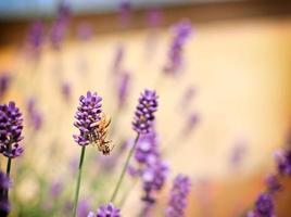 Spinne fing eine Biene auf Lavendel