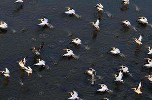 Synchronflug weißer Pelikane über Manych See