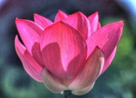 rosa Lotus öffnen