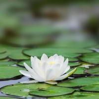 weißer Lotus