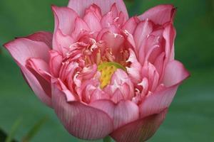 Pfingstrosen Lotus