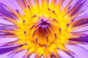 Nahaufnahme Lotusblume