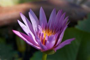 rosa Lotusfarbe