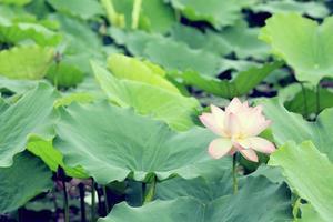schöne Lotusblumen, die am Teich blühen