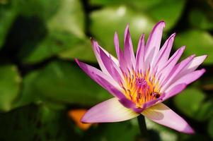 Lotus mit arbeitender Biene