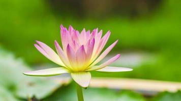 schönes Foto von rosa Lotus