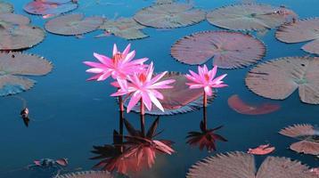 rosa Lotus