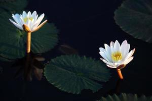 schöne Lotusblume