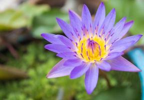 blaue Lotusblüten und lila Pollen foto