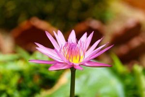 lila Lotusblume blüht
