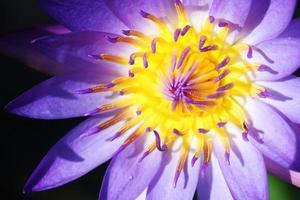 Nahaufnahme der bunten Lotusblume