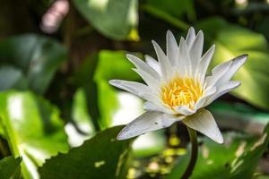 Seerose oder Lotusblume im Teich