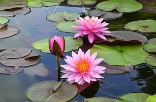 dreifache Lotusblüten, umgeben von mehrfarbigen Blättern