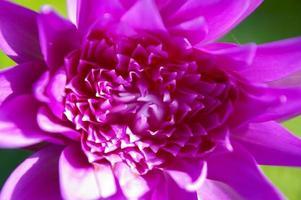 schöne rosa Lotus- oder Seerosenblumen, die auf Teich blühen