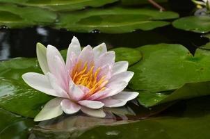 Lotusblume dem Licht ausgesetzt mit grünen Blättern umgeben