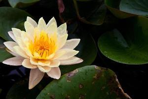 schöner blütengelber Lotus mit gelbem Pollen und Wassertropfen