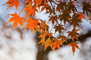 japanische Ahornblätter im Herbst