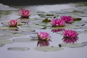 schöne Seerose oder Lotusblume.