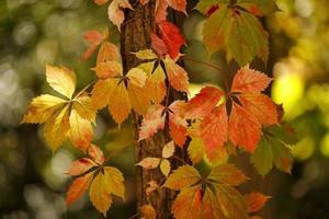 Herbst Efeu