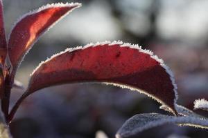 eisige Rüsche auf rotem Lorbeerblatt foto