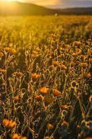 gelbe Blüten bei Sonnenschein foto