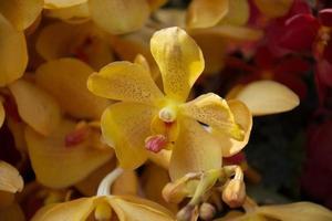 schöne gelbe Orchideenblüten foto
