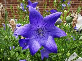 hübsche Platycodon-Blume foto
