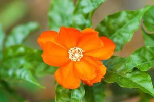 Wachsrose Blume