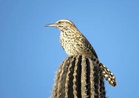 Kaktuszaunkönig foto