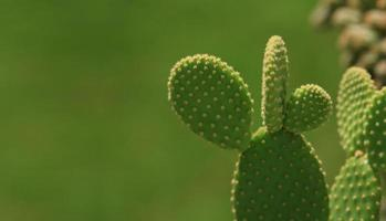 grüner Kaktus foto
