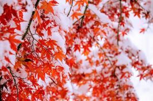 roter Herbstahornbaum bedeckt mit Schnee, Südkorea.