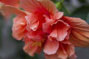 einzelner Aprikosen-Hibiskus foto