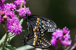 schwarze Schwalbenschwanzschmetterlinge paaren sich